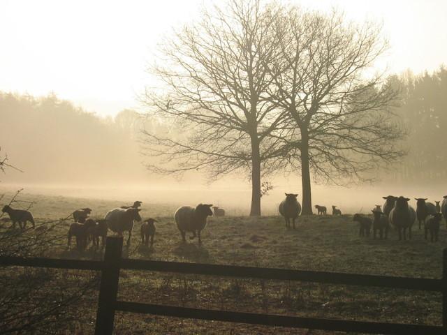 sheep-1390745-640x480